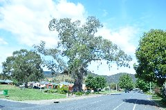 The ' Big Tree' Myrtleford